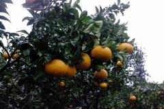 Чеджу - остров мандарин. Их тут великое множество.