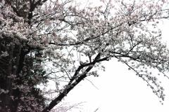 В конце марта - начале апреля в Корее цветет Сакура